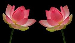 Two Beautiful Lotus On The Black Background