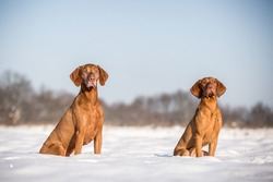 Two beautiful magyar vizsla dogs sitting in a field full of snow on a beautiful sunny day