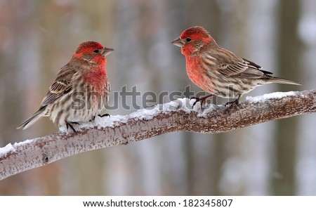 Two beautiful male House Finches (Carpodacus mexicanus) on a snowy branch.