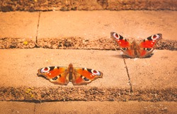 two beautiful peacock butterflies basking in the sunshine of stone roof tiles