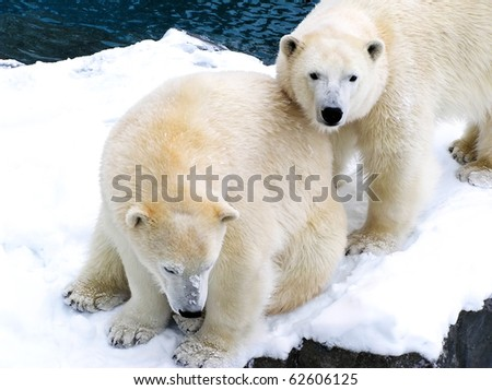 Two beautiful polar bears covered with snow huddling together, the one standing looking at camera.