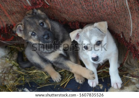 Two beautiful puppies. Gray puppy and white puppy. Kids are carefully looking at the owner. Breeders of puppies.