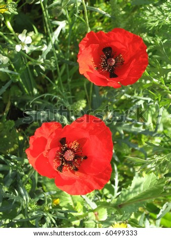 Two Beautiful Red Poppies in park in Ramat Gan, Israel