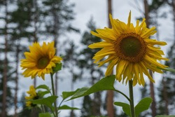 two beautiful shining smiling yellow sunflower flowers against the background of majestic pine trees.
