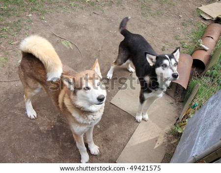 Two beautiful Siberian husky dogs staring expectantly