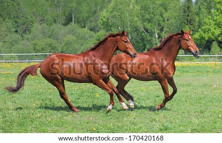 Two beautiful warmbloods running together in summer