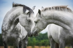 Two beautiful white horses