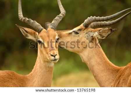 Two beautiful wild African male Impala antelope (Aepyceros melampus) head profile portraits