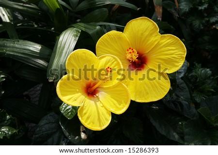 two beautiful yellow hibiscus flowers - stock photo