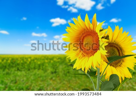 Two beautiful yellow sunflowers in bouquets. Sun symbol. Flowers yellow, agriculture.