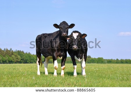 Two beautiful young curious cows in a meadow