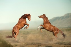 two beautiful young stallions fighting in the desert