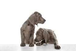 Two beautiful young Weimaraner dogs posing isolated over white background.
