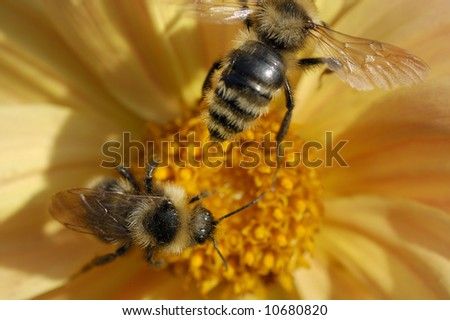 two bee  close-up on yellow flower together