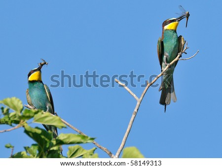 two bee eaters on a branch