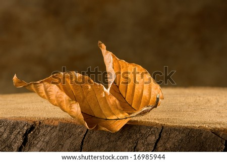 Two beech tree leaves in autumn colors on a tree trunk