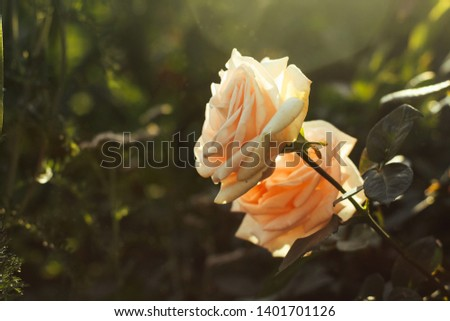 Two beige roses close up on a dark green background in nature. #1401701126