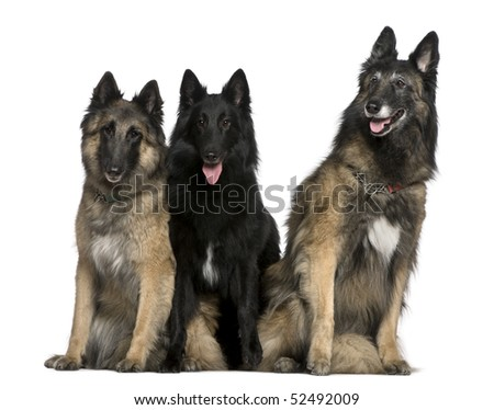 Two Belgian Shepherd dogs, Tervuren, and a Belgian Shepherd dog, Groenendael, 7 years, 2 years, and 4 years old, sitting in front of white background