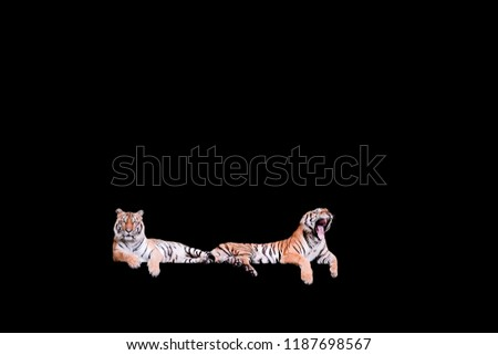 Two bengal Tiger in forest  isolated on black background