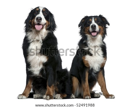 Two Bernese mountain dogs, 14 months and 6 years old, sitting in front of white background