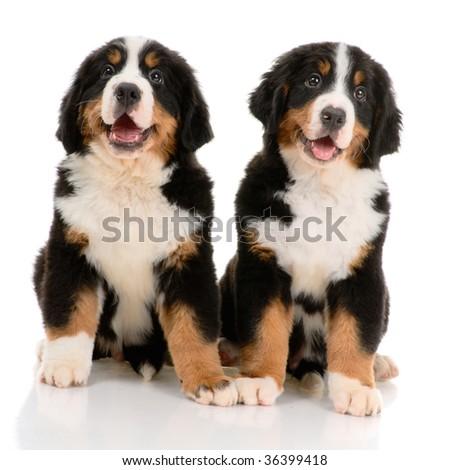 Two bernese sennenhund puppy on a white background