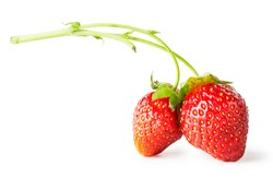 Two berry red strawberry on branch isolated on white background