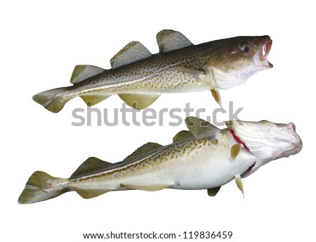 two  big cod fish on a white background