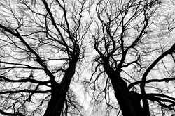 Two big copper beech tree tops (Fagus sylvatica f. purpurea) on a cloudy winters day in Iserlohn Sauerland Germany with detailed ramification, branch and twig silhouettes contrasting black and white .