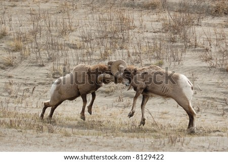 Two big horn sheep fighting.