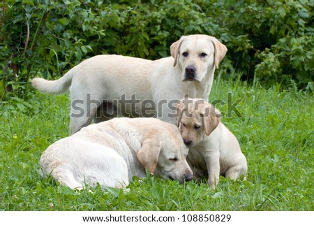 Two big labrador dogs with little puppy on grass