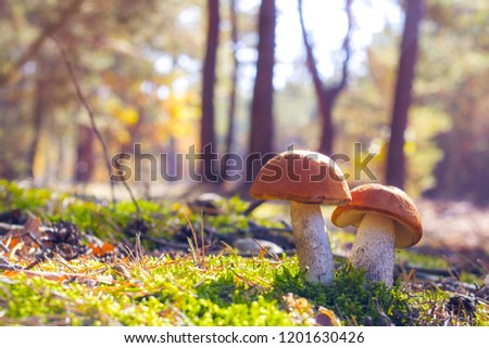 Two big Leccinum grows in sun rays forest. Mushrooms growing in sunny wood. Beautiful edible autumn raw bolete #1201630426