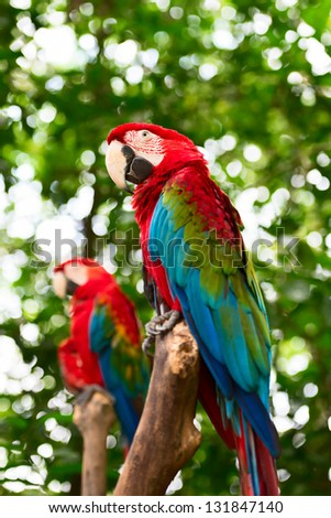 Two big macaw bird parrot (Ara ararauna) sitting on log with green leaves on background