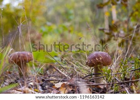 Two big mushrooms grows in forest. Big boletus grow in needles wood. Mushroom cep growing #1196163142