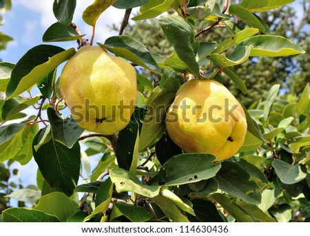 Two big ripe quincec on a tree - stock photo