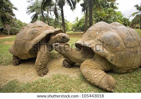 two Big Seychelles turtle, Giant tortoise,
