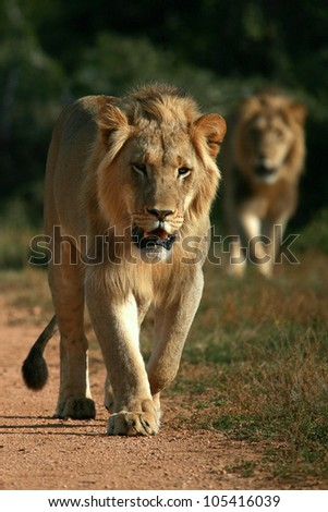 Two big sub adult male lions approach,walking straight towards the camera,in this beautiful low angle profile portrait taken in Addo Elephant national park,eastern cape,south africa