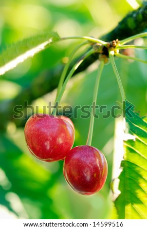 Two big sweet and juicily cherries on a Tree.