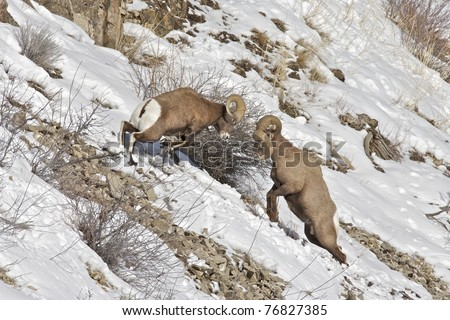 Two Bighorn Sheep clashing and head butting with their horns in Yellowstone National Park.