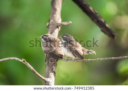 Two birds (Pied Fantail Flycatcher, Rhipidura javanica) black color in a nature wild are couple, friends or brethren #749412385