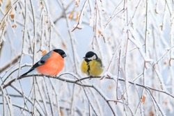 two birds titmouse and bullfinch are sitting on a branch nearby in the winter holiday park