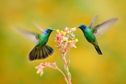 Two birds with orange flower. Hummingbirds Green Violet-ear, Colibri thalassinus, flying next to beautiful yellow flower, Savegre, Costa Rica. Action wildlife scene from nature. Animal behaviour.