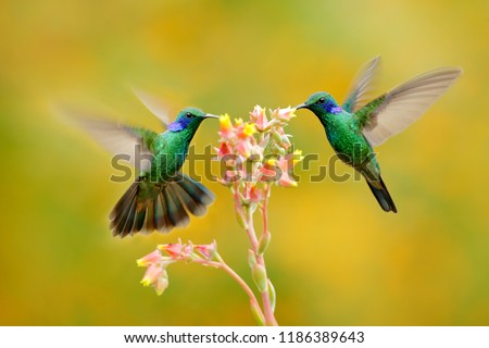Two birds with orange flower. Hummingbirds Green Violet-ear, Colibri thalassinus, flying next to beautiful yellow flower, Savegre, Costa Rica. Action wildlife scene from nature. Animal behaviour. #1186389643