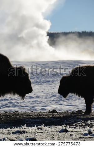 Two bison facing each other in a steaming snow-covered landscape. Yellowstone National Park. Foto stock ©