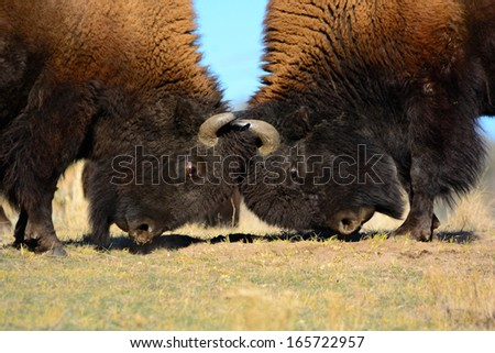 Stock Photo Two Bison Head-butting.