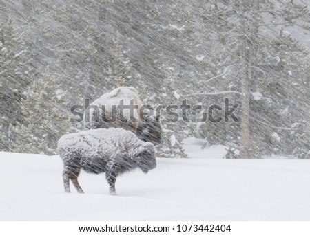 two bison in the forest are covered in snow standing in a windy blizzard in Yellowstone National Park #1073442404