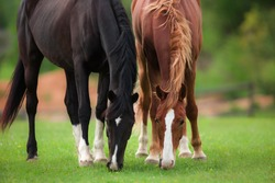 two black and red brown horses graze together in a field in the summer