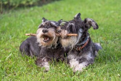 two black and silver miniature schnauzer dogs playing with the stick