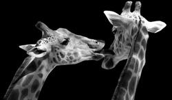 Two Black And White Couple Giraffe