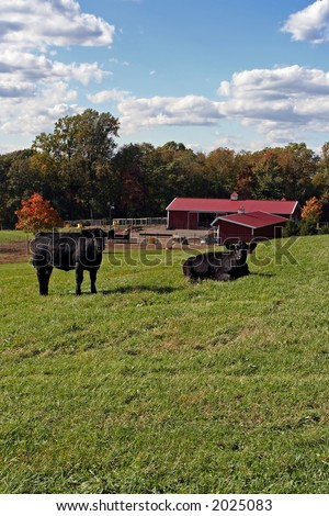 Two black angus cows in a grassy meadow in front of a red barn.