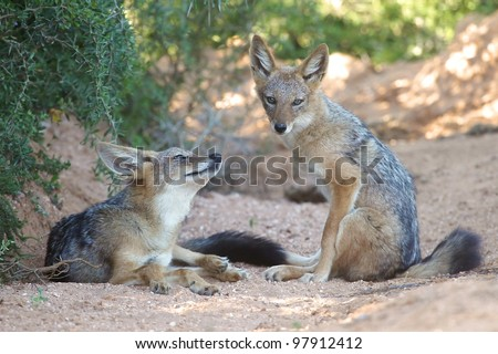 Two black backed jackal siblings resting in the shade